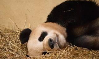 panda-buntetes